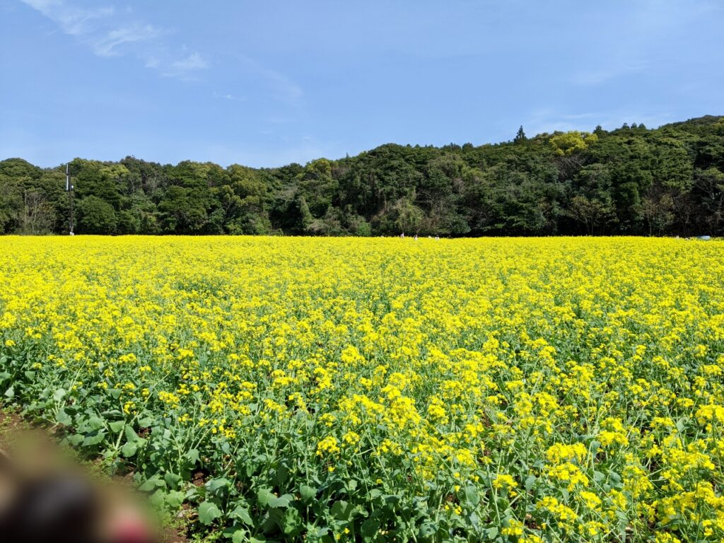 展海峰の菜の花